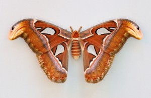 Attacus_atlas_qtl1