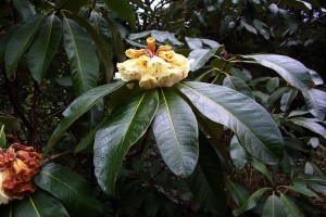Rhododendron Falconii